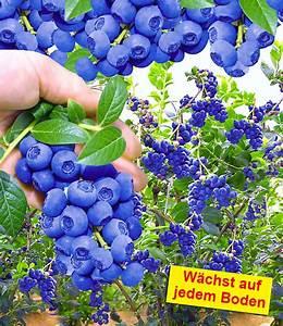 Heidelbeeren Im Kübel Pflanzen : trauben heidelbeere reka blue 1a qualit t baldur garten ~ Watch28wear.com Haus und Dekorationen