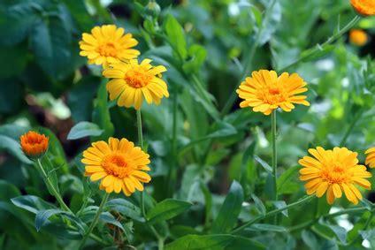 huiles essentielles cuisine souci des jardins calendula creapharma