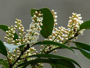 Kirschlorbeer Wann Pflanzen : buchenhecke schneiden buchenhecke schneiden anleitung f r ~ Lizthompson.info Haus und Dekorationen