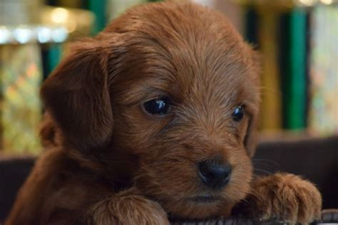 Non Shedding Dogs Family Friendly by 25 Best Images About Australian Labradoodle Puppies On