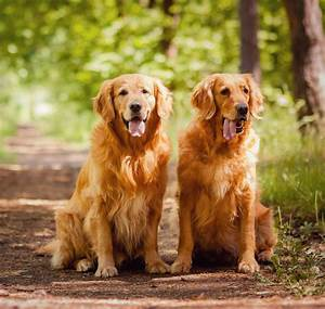 Golden Red River : golden retriever puppies breeds age colors price facts everything golden ~ Orissabook.com Haus und Dekorationen