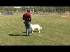 great pyrenees images   great pyrenees dog