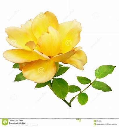 Yellow Rose Background