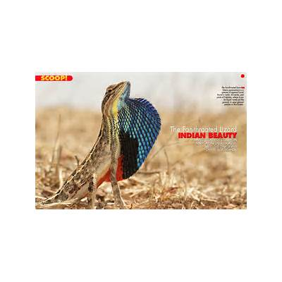 THE INDIAN FAN-THROATED LIZARDAnima Mundi Magazine