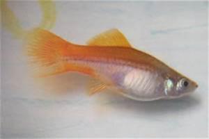 Image Gallery swordtail pregnancy