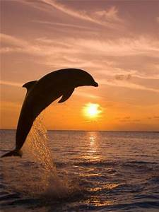 Bottlenosed Dolphin Leaping at Sunset Photographic Print ...