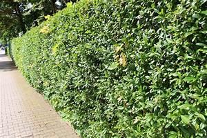 Liguster Ligustrum Vulgare Ligusterhecke Pflanzen
