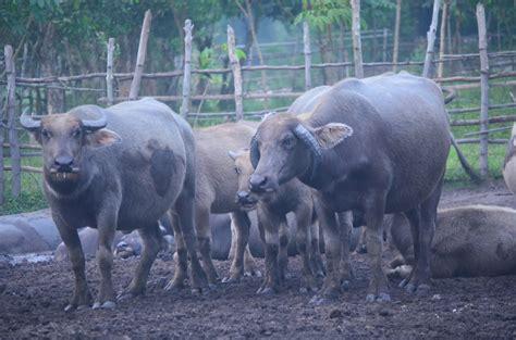 himapetri kerbau rawa pampangan khas sumatera selatan