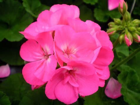 pics of geraniums americana pink zonal geranium