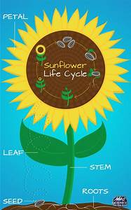 17 Best Images About Sunflower Lifecycle On Pinterest