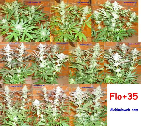 fin de floraison cannabis interieur culture de graines de cannabis r 233 guli 232 res en int 233 rieur du growshop alchimia