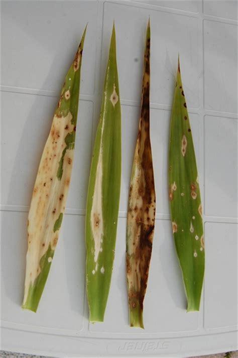 Yucca Palme Bekommt Gelbe Blätter by Yucca Elephantina Braune Bl 228 Tter Seite 1 Yucca