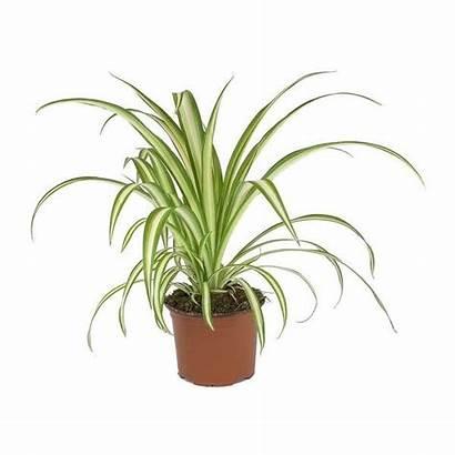 Spider Plant Chlorophytum Vittatum Hortology Plants Comosum