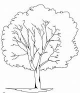 Coloring Tree Elm Pages Trees Ash Silhouette Template Drawings Getcolorings Adults Printable Designlooter Library Clipart Popular sketch template