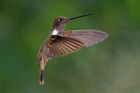 brown inca hummingbird sean crane photography