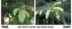 Unterschied Kiefer Fichte Holz : fichtenspitzensirup und tannenspitzensirup selbstgemacht frau birkenbaum ~ Markanthonyermac.com Haus und Dekorationen