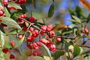 Giftpflanze Mit Stacheliger Frucht : pfaffenh tchen spindelstrauch euonymus europaeus pflege ~ Eleganceandgraceweddings.com Haus und Dekorationen