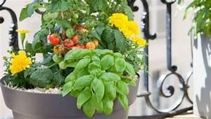 Quand Planter Les Tomates Cerises : planter des tomates cerises en pot comment faire ~ Farleysfitness.com Idées de Décoration