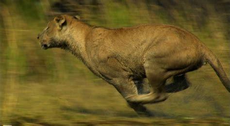 Lion Running Desktop Wallpaper