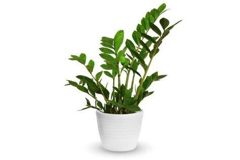 Blühende Zimmerpflanzen Pflegeleicht by 26 Absolut Pflegeleichte Zimmerpflanzen F 252 R Anf 228 Nger
