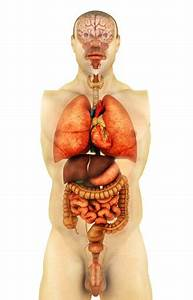 Anatomy Of Human Body Showing Whole Organs  Front View