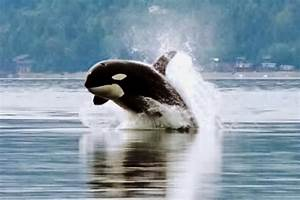 Video  The Beautiful Life Of Orcas  U2022 The National Wildlife