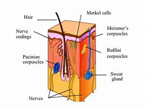 1  Cross Section Of Human Skin  Picture Adapted From  1