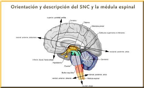 la snc ejes de forel y de meyner divisi 243 n sistema nervioso
