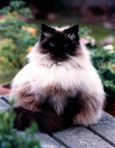 45+ Beautiful Himalayan Cat Photos | Golfian.com
