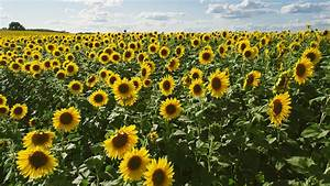 10 Glorious Facts About Sunflowers