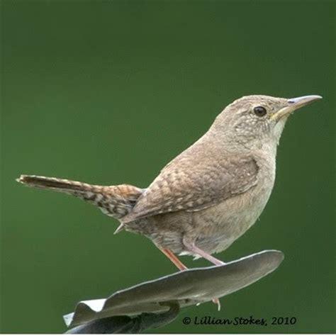 stokes birding blog house wren