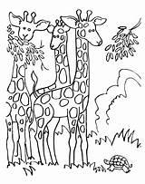 Giraffe Coloring Eating Printable Adults 101coloring sketch template