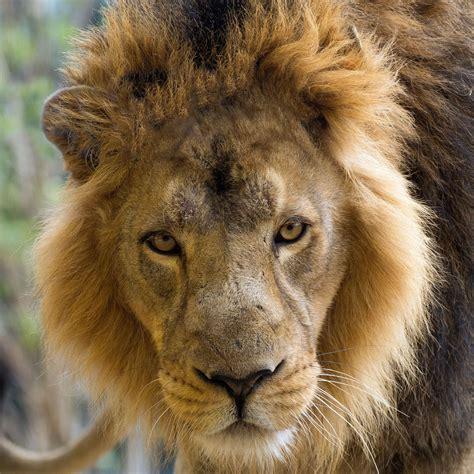 adopt  lions zsl shop