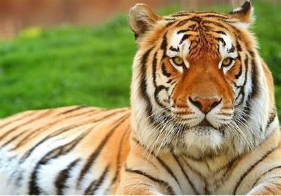Gambar Harimau Lengkap Monyet Lihat Juga