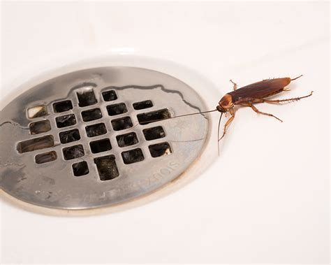 american cockroaches control facts information