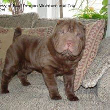 miniature shar pei puppies for sale