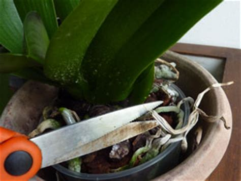 orchidee phalaenopsis trucs  astuces