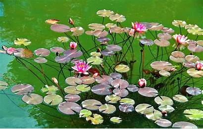 Water Lilies Pond Leaves Herbs Lily Wallpapers