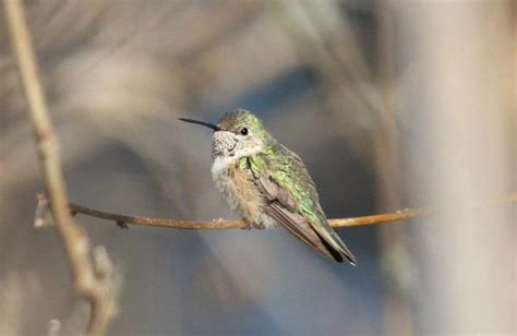 broad tailed hummingbird nj first state record by alex