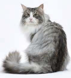 forest cat cat breeds forest cat royal canin