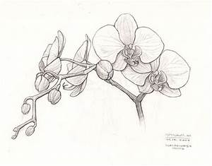 Orchid sketch | This is a drawing of an orchid my Mom-in ...