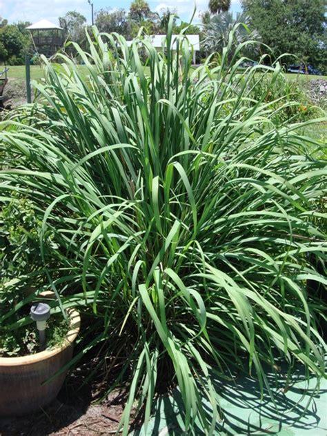lemongrass landscaping lemongrass the forgotten one pick me yard