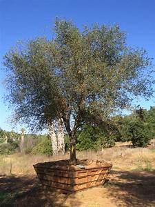 Small Sales Quercus Agrifolia Coastal Live Oak Big Trees Nursery