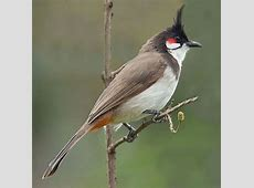 Bulbul National Bird of Bahrain Interesting Facts About