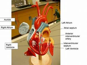 Anatomical Heart Labeled