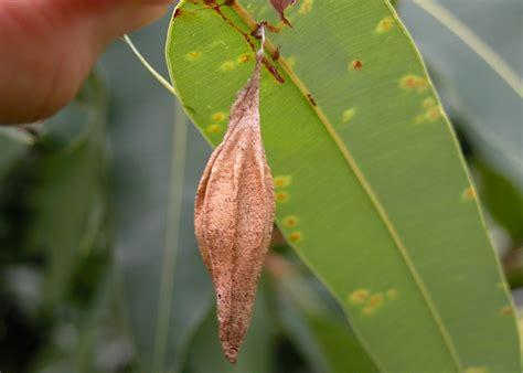 ribbed case moth hyalarcta nigrescens