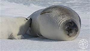News and Press on Seals and the Seal Hunt 2013 - Actions ...