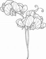 Coloring Sweet Flowers Pea Printable sketch template