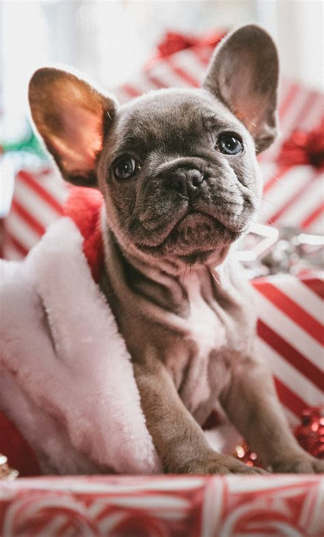 Free to download this christmas dogs live wallpaper! 1280x2120 French Bulldog Christmas iPhone 6+ HD 4k Wallpapers, Images, Backgrounds, Photos and ...