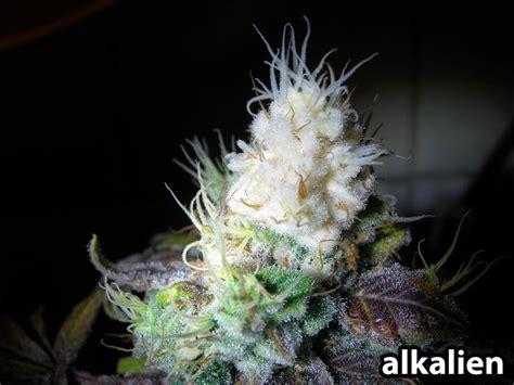 led bleaching grasscity forums   marijuana
